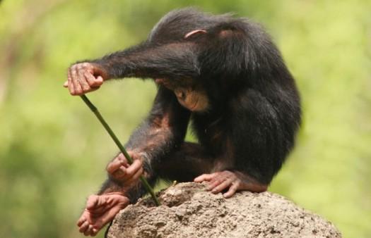 Chimp Tools